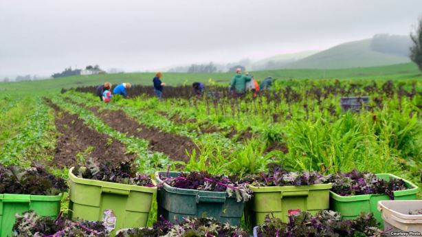 Gleaning the fields.